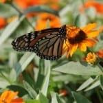 monarch-butterfly-field-orange-flowers-image