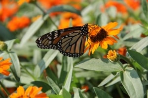 monarch-butterfly-field-orange-flowers-image