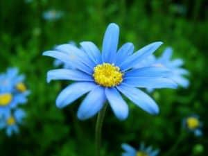 blue-cornflower-image