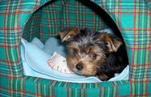 yorkie-puppy-bed-image
