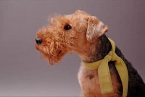 reddish-brown-welsh-terrier-yellow-scarf-image