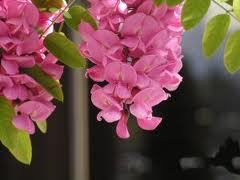 pink-lupine-image