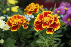 flowers-marigolds-green-orange-image