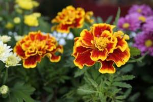 flowers-marigolds-green-orange-image