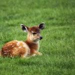 baby-deer-field-of-grass-image