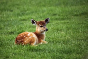 baby-deer-field-of-grass-image