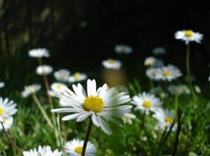 field-of-tiny-daisies-image