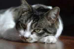 bored-gray-white-cat-image