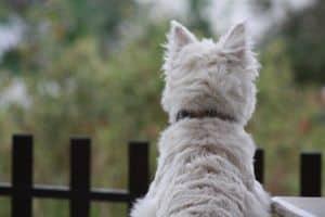 westie-dog-starting-over-fence-image