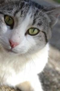 staring-cat-green-eyes-image
