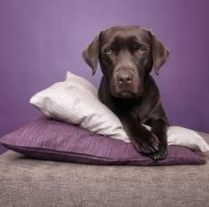black-dog-on-purple-image