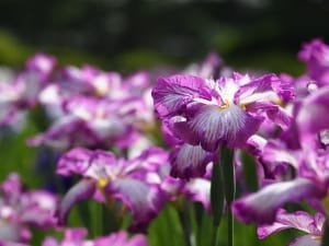 field-of-irises-image
