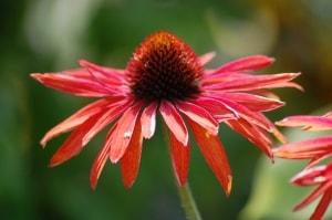 orange-red-coneflower-image