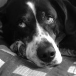 lazy-black-and-white-dog-bedspread-image