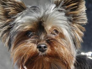 yorkie-face-close-up-image