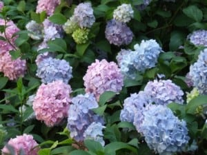 pink-lavender-blue-flower-image