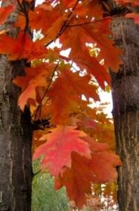 fall-leaves-trees-image