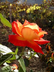 burnt-orange-rose-image