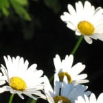 four-daisies-image