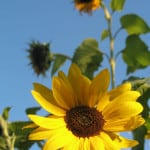 big-bright-yellow-sunflowers-blue-skies-image