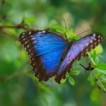 blue-purple-butterfly-leaves-image