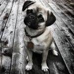 serious-pug-puppy-black-and-white-image