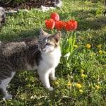 white-gray-cat-tulips-image