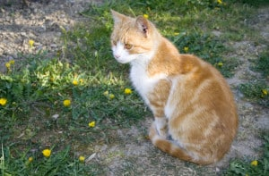 orange-cat-green-yard-yellow-flowers-image