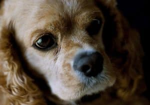 cockerspaniel-puppy-closeup-image