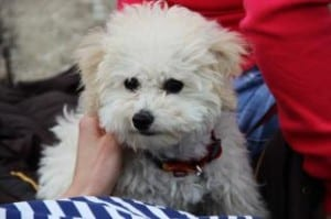fluffy-white-dog-apricot-ears-image