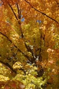fall-foliage-yellow-image