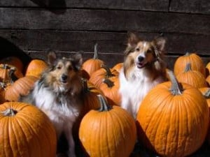 collies-in-pumpkins-image
