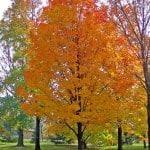 autumn-maple-tree-in-park-image