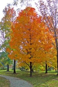 autumn-maple-tree-in-park-image