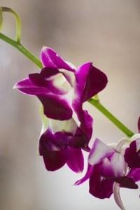 deep-purple-flower-stalk-image