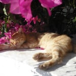 cat-in-the-flower-bush-image