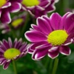purple-yellow-center-flower-image