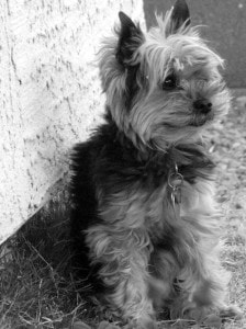 tiny-yorkie-dog-in-black-and-white-image