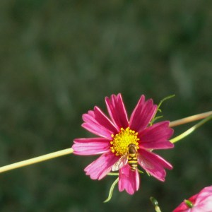 cosmos_and_bee_image