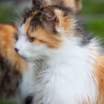 orange-black-white-cat-image