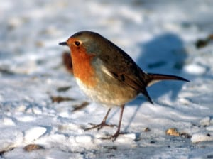 little-robin-in-snow-image