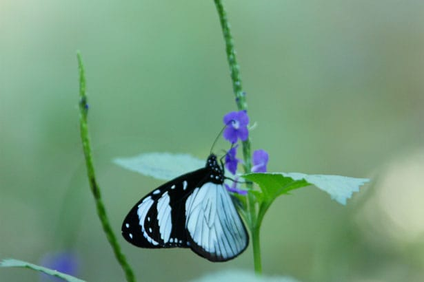 pale-blue-butterfly-stalk-image
