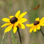 brown-eyed-susans-image