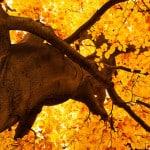 yellow-tree-tops-fall-image