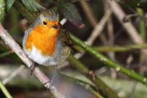 little-robin-branch-tree-image
