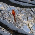 winter-cardinal-trees-image
