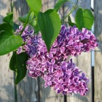 hanging-purple-flower-fence-image