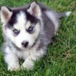 black-white-husky-puppy-image