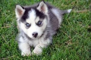 black-white-husky-puppy-image