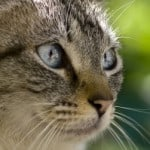 clear-blue-eyed-cat-green-background-image